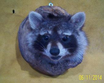 mounted raccoon head